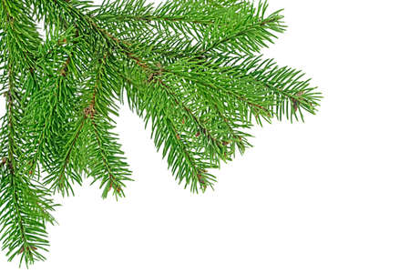 Branch of fir tree on a white background