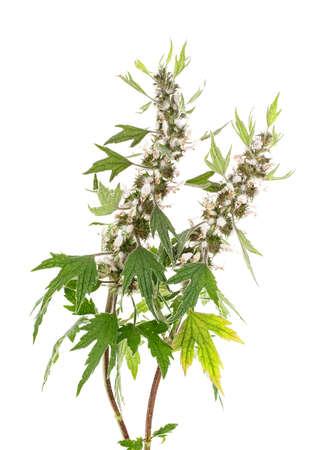 Blooming Leonurus cardiaca or motherwort on a white background Stock fotó