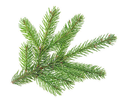 Green branch of fir tree isolated on a white background. Christmas tree branch.
