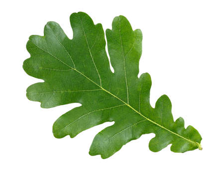 Oak green leaf isolated on white background, top view.