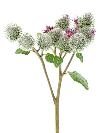 Medicinal plant of Arctium. Burdock flowers on stem with leaves isolated on a white background. 스톡 콘텐츠 - 140606949