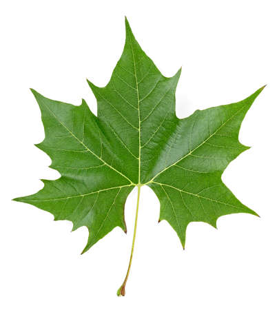 Green maple leaf isolated on a white background, top view. 스톡 콘텐츠