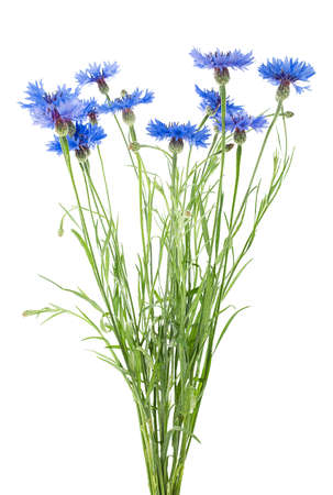 Bunch of blue cornflowers isolated on a white background. Bouquet of cornflowers.