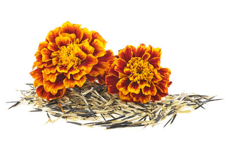 Orange marigold flowers with seeds isolated on white background. Mexican marigold.