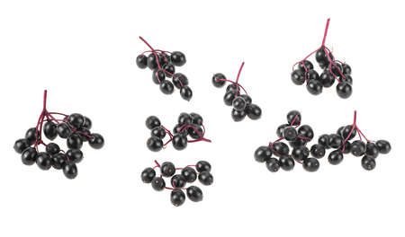 Fresh branches of elderberry isolated on a white background, top view. Sambucus (Elder or Elderberry).