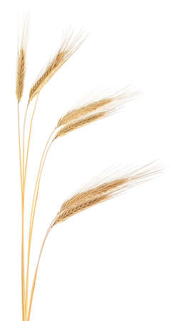 Ears of rye. Spikelets of ripe rye isolated on a white background.