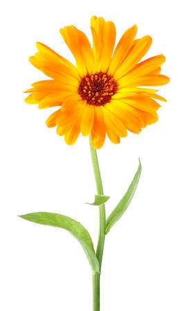 Flower of calendula isolated on a white background. Flower on stem with leaves. Calendula officinalis.