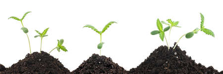 Sprouts of hemp cannabis marijuana growing from soil, white background.