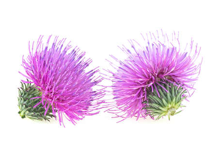 Two flowers of Milk Thistle plant isolated on a white background. Alternative medicine concept.