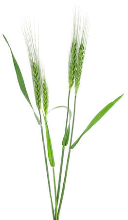 Green spikelets of barley isolated on a white background