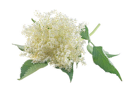 Elderberry with flowers and leaves isolated on a white background. Blossoming elder. Sprig of sambucus with green leaves and flowers.