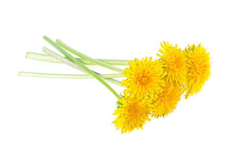 Yellow dandelion flowers on stem isolated on a white background