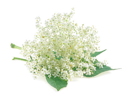 Flowers of Sambucus. Flowering branch of elderberry with leaves isolated on a white background. Stock Photo