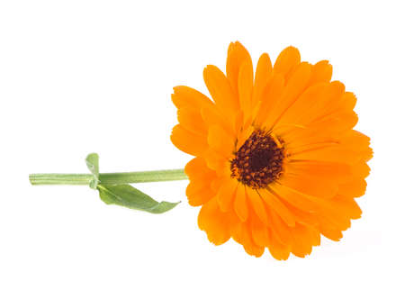 Calendula. Flower with leaves isolated on a white background. Marigold flower. Reklamní fotografie