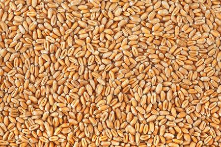 Wheat grains texture. Wheat grains as agricultural background.