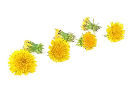 Dandelion flowers isolated on a white background. Dandelion flower head. Taraxacum officinale.