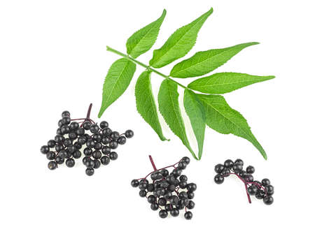 Twigs of elderberries with green leaves isolated on a white background. Walewort berries. Sambucus.