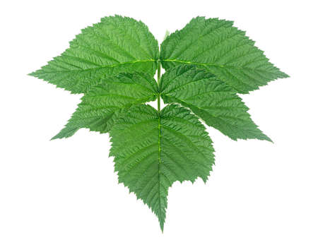 Leaves of raspberry isolated on a white background. Raspberry green leaves.