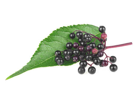 Black elderberries with twig and green leaf isolated on a white background. Sambucus.