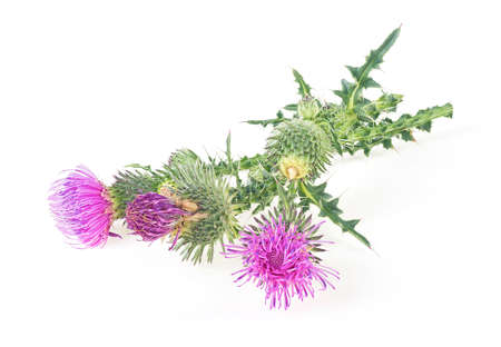 Milk thistle flowers isolated on a white background with copy space. Front view. 免版税图像