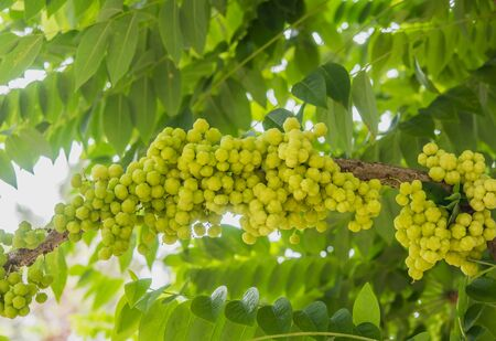 plentifully: Plentifully tropical star gooseberry in Thailand