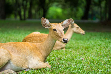 close up antelope lying in the zoo Stock Photo