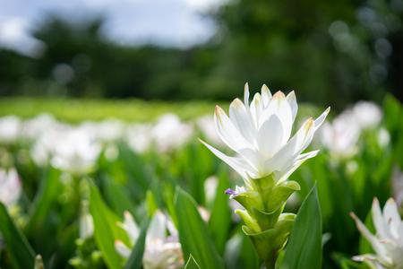 Close up of White Siam Tulip flower 免版税图像