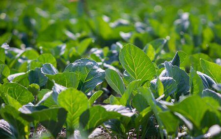 Kale chinois planté dans le jardin Banque d'images