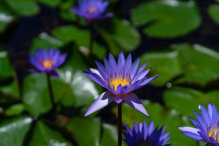 Purple lotus flowers with green leaves in the pond 版權商用圖片
