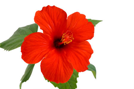 hibiscus flower is a flower of love  Stock Photo