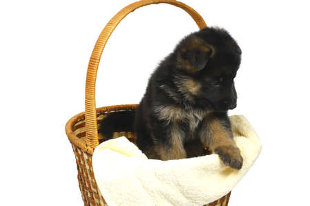 month puppy German Shepherd sidt in a basket isolated on a white background photo