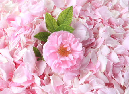 pink tea rose petals on the background Stock Photo