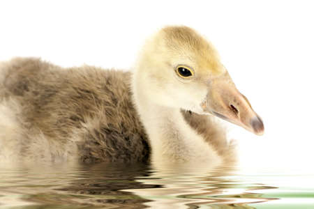 ugly duckling: floating ugly duckling gosling teen on white background