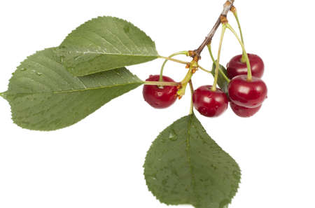 branch with cherry fruit isolated on a white background