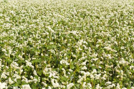 Buckwheat field at flowering closeup photo