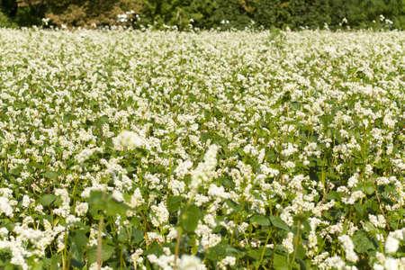 Buckwheat field at flowering closeup
