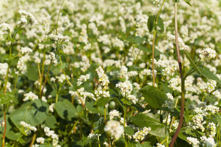 Buckwheat field at flowering closeup Stock Photo - 14150909