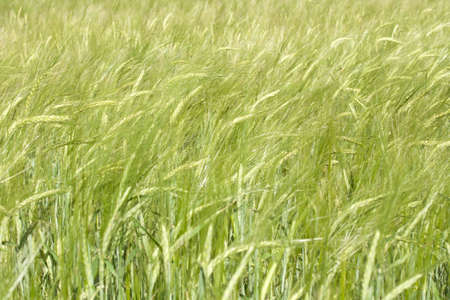 Ripening ears of wheat on the field