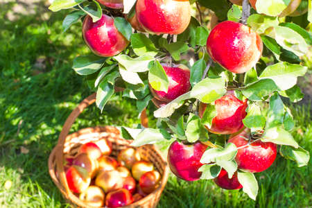 reds: Reds ripe apples on apple tree and plucked in the basket Stock Photo