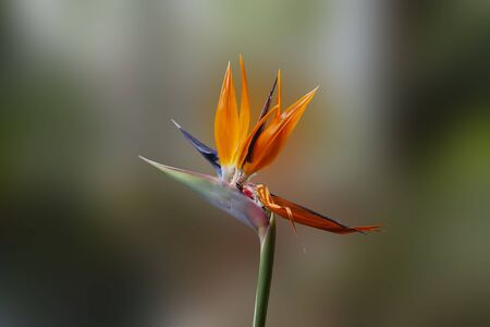 Strelitzia royal flower on blurry background close-up