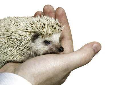 the image hedgehog in the palm isolated Stock Photo