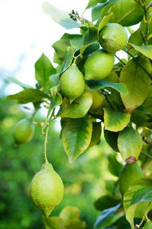 limonene: Lemontree