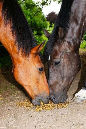 Horses  heads photo