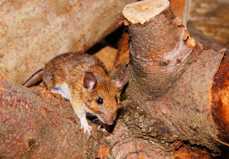 caudal: A young rat Stock Photo