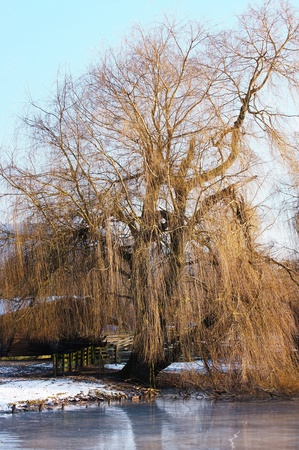 Weeping willow Stock Photo - 18850269