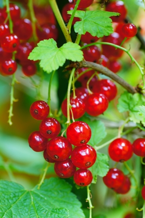 red currants: Red currants