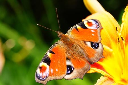 peacock butterfly: Pav�n Foto de archivo