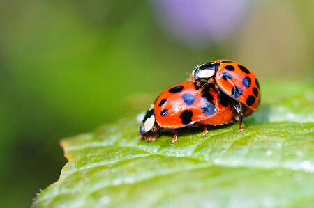 Ladybugs in mating photo