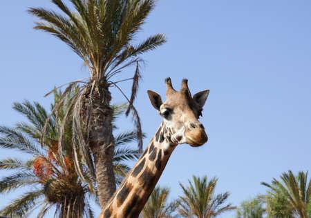 reticulated giraffe: Giraffe