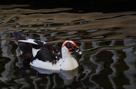 warts: Warts duck